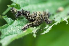 Małe trotoiseshell motyla gąsienicy Obraz Stock