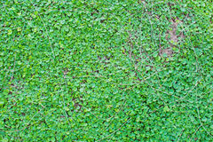 Małe zielone rośliny podłogowe Fotografia Stock