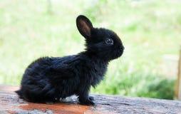 Małego ślicznego królika śmieszna twarz, puszysty czarny królik na drewnianym tle Miękka ostrość, Płytka głębia pole zdjęcie royalty free