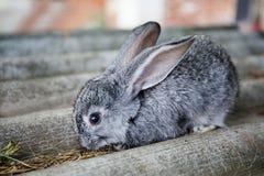 Małego ślicznego królika śmieszna twarz, puszysty szary królik na kamiennym tle Miękka ostrość, Płytka głębia pole Obrazy Stock