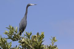 Małego błękita czapla która siedzi na wierzchołku krzak w mangrowe zdjęcie stock