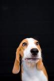 Małego beagle psa pracowniany portret - czarny tło Fotografia Stock