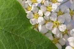 Małego białych kwiatów Spiraea cinerea ashen, makro- w górę tekstury kwiecistego tła Geometrical proporcja zieleń liście i obrazy royalty free