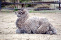 Małego dziecka portreta Camelus Bactrianus Wielbłądzi Odpoczywać zdjęcia royalty free