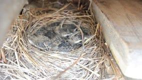 Małego dziecka wróbli ptaki w gniazdowym makro- szczególe zbiory