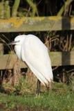 Małego Egret Egretta garzetta mała biała czapla Obrazy Stock