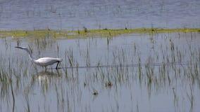 Małego egret Egretta garzetta na bagna polowaniu dla insektów jedzący w słonecznym dniu zbiory wideo
