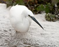 Małego egret połów w rzece Obraz Royalty Free