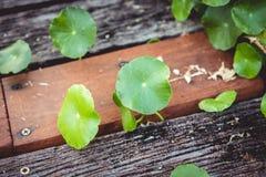 Małego okręgu lotosowi liście r w górę pobliskiej drewnianej podłogi obrazy royalty free