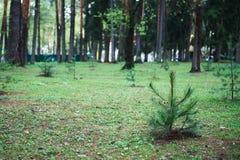 Małego potomstwo sosny rośliny zielonego świerkowego igielnego fiszorka drewien mech lasowy tło Zdjęcie Stock