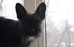 Małego psa czerń i brindle koloru blisko spojrzenia fotografia stock