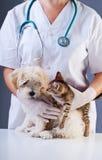 Małego psa i figlarki spotkanie przy weterynaryjną lekarką obraz royalty free