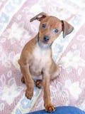 Małego psa pincher stoi na swój tylnych nogach zdjęcie royalty free