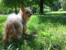 Małego psa pozycja w świeżej zielonej trawie Obrazy Royalty Free