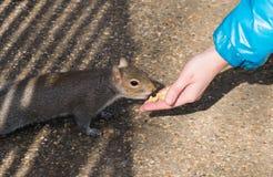 Małej dziewczynki żywieniowa wiewiórka z dokrętkami w Hyde parku, Londyn fotografia royalty free