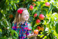 Małej dziewczynki zrywania jabłka od drzewa w owocowym sadzie Zdjęcia Royalty Free