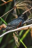 Małej i pięknej rewolucjonistki genialny ptak od afryki poludniowa Zdjęcia Stock