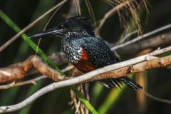 Małej i pięknej rewolucjonistki genialny ptak od afryki poludniowa Zdjęcia Royalty Free