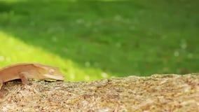 Małej pomarańcze dziecka barwiona jaszczurka zbiory wideo