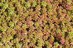 Małej tłustoszowatej czerwieni i zielonych rośliien pokrywy powierzchnia, tło tekstura makro-, selekcyjna ostrość, płytki DOF Obrazy Royalty Free