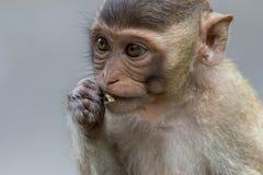 Małp jeść Fotografia Royalty Free