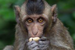 Małp jeść Fotografia Stock