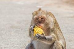 Małp jeść Zdjęcia Royalty Free