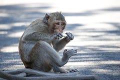 Małp jeść Obraz Royalty Free