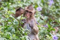 Małp jeść Zdjęcie Royalty Free