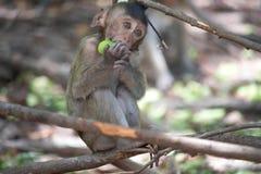Małp jeść Zdjęcie Stock