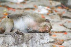 Małp spać Zdjęcie Royalty Free