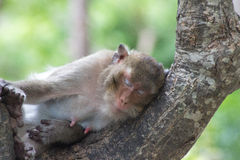 Małp spać Fotografia Royalty Free