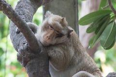Małp spać Zdjęcia Stock