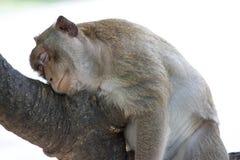 Małp spać Fotografia Stock