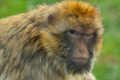 Małp spojrzenia skeptically przy kamerą fotografia royalty free
