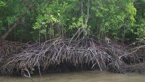 Małp wspinaczki na namorzynowych drzewach zdjęcie wideo