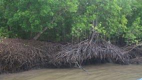 Małp wspinaczki na namorzynowych drzewach zbiory