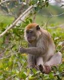 małpa żywnościowa Fotografia Royalty Free