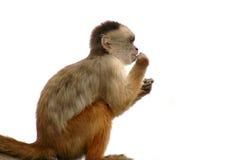 małpa obraz royalty free