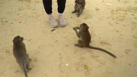 Małpa bierze banany od ręk turyści Dorosła czelna małpa gryźć torbę turyści Wyspa małpy zbiory