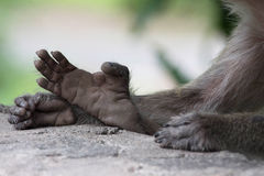 Małpa cieki i ręki Fotografia Stock