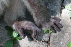Małpa cieki i ręki Zdjęcie Royalty Free