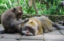 Małpa cieszy się masaż - akcyjny wizerunek zdjęcia royalty free