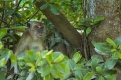 Małpa gnieżdżąca się w drzewie Obrazy Royalty Free