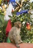 Małpa i modlitwa zaznaczamy od Swayambunath świątyni w Kathmandu obrazy royalty free