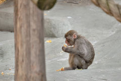 Małpa je fundę Fotografia Royalty Free