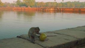 Małpa je kokosowego pobliskiego rezerwuar blisko Agkor Wat świątyni zdjęcie wideo