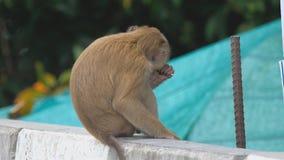 Małpa je lizaka zbiory wideo