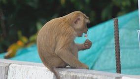 Małpa je lizaka zbiory