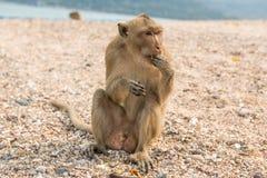 Małpa jedząc makak kraba Azja Tajlandia Fotografia Stock